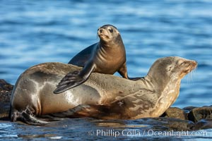 California Sea Lion pup playing on top of its resting mother, La Jolla, California, Zalophus californianus