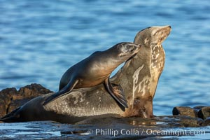 California Sea Lion pup nuzzles its mother, La Jolla, California, Zalophus californianus