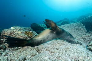 Sea lion scratches its back on underwater stones, Zalophus californianus, Sea of Cortez