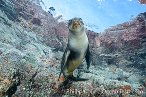Sea Lion Underwater, Los Islotes, Sea of Cortez. Baja California, Mexico, natural history stock photograph, photo id 32489