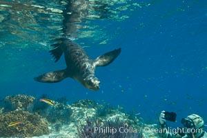 Sea Lion Underwater, Los Islotes, Sea of Cortez. Los Islotes, Baja California, Mexico, natural history stock photograph, photo id 32502