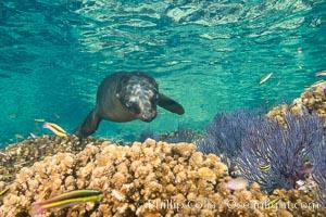Sea Lion Underwater, Los Islotes, Sea of Cortez. Baja California, Mexico, natural history stock photograph, photo id 32512