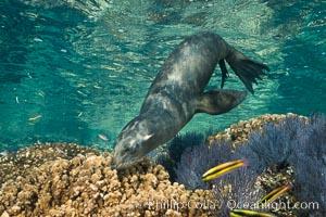 Sea Lion Underwater, Los Islotes, Sea of Cortez