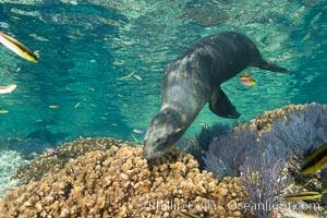 Sea Lion Underwater, Los Islotes, Sea of Cortez. Baja California, Mexico, natural history stock photograph, photo id 32514