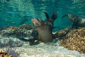Sea Lion Underwater, Los Islotes, Sea of Cortez. Baja California, Mexico, natural history stock photograph, photo id 32515