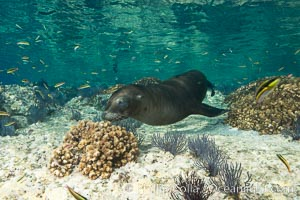 Sea Lion Underwater, Los Islotes, Sea of Cortez. Baja California, Mexico, natural history stock photograph, photo id 32519