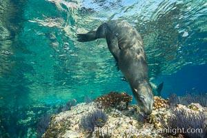 Sea Lion Underwater, Los Islotes, Sea of Cortez. Baja California, Mexico, natural history stock photograph, photo id 32526