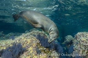 Sea Lion Underwater, Los Islotes, Sea of Cortez. Baja California, Mexico, natural history stock photograph, photo id 32534