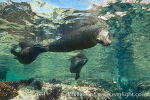Sea Lions playing in shallow water, Los Islotes, Sea of Cortez. Los Islotes, Baja California, Mexico, natural history stock photograph, photo id 32498