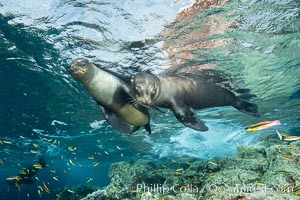 Sea Lions playing in shallow water, Los Islotes, Sea of Cortez. Los Islotes, Baja California, Mexico, natural history stock photograph, photo id 32545