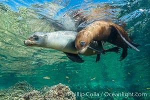 Image 32553, Sea Lions playing in shallow water, Los Islotes, Sea of Cortez. Baja California, Mexico, Phillip Colla, all rights reserved worldwide.   Keywords: animal:animalia:archipelago espiritu santo:baja california:california sea lion:californianus:caniformia:carnivora:carnivore:chordata:creature:eared seal:gulf of california:isla lobos:islas los islotes:la lobera:la paz:lobo marino:los islotes:mammal:mammalia:marine:marine mammal:mexico:nature:ocean:otarid:otariid:otariidae:pacific ocean:pinniped:pinnipedia:sea:sea dog:sea lion:sea of cortez:sealion:underwater:vertebrata:vertebrate:wildlife:zalophus:zalophus californianus.