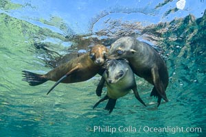 Sea Lions playing in shallow water, Los Islotes, Sea of Cortez. Los Islotes, Baja California, Mexico, natural history stock photograph, photo id 32556