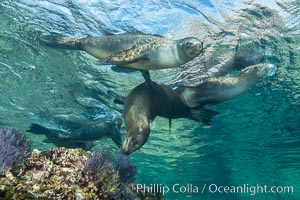 Sea Lions playing in shallow water, Los Islotes, Sea of Cortez. Los Islotes, Baja California, Mexico, natural history stock photograph, photo id 32558