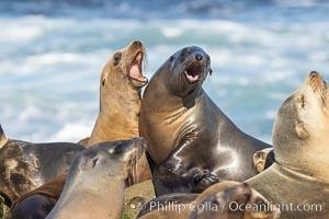 Sea Lions Socializing and Resting, La Jolla, Zalophus californianus