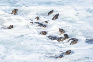 Sea Lions in the Surf and Waves, La Jolla, Zalophus californianus