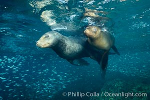 Sea lions underwater, adult male (left) and female (right), Zalophus californianus, Sea of Cortez