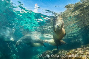 Sea Lions Underwater at Lobera San Rafaelito, Sea of Cortez. Baja California, Mexico, natural history stock photograph, photo id 33835