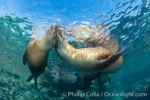 Sea Lions Underwater at Lobera San Rafaelito, Sea of Cortez