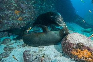 Sea lions underwater, male and female courting / socializing, Zalophus californianus, Sea of Cortez