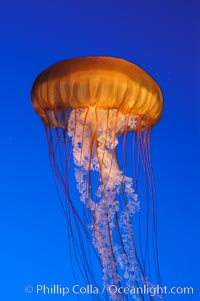 Sea nettles., Chrysaora fuscescens, natural history stock photograph, photo id 08952