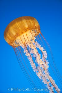 Sea nettles., Chrysaora fuscescens, natural history stock photograph, photo id 14086