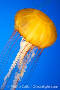 Sea nettles., Chrysaora fuscescens, natural history stock photograph, photo id 14089