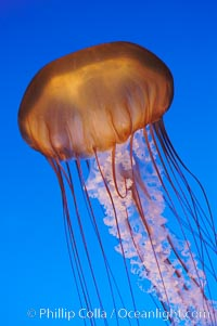 Image 08953, Sea nettles., Chrysaora fuscescens, Phillip Colla, all rights reserved worldwide. Keywords: animal, chrysaora fuscescens, invertebrate, jellyfish, marine invertebrate, marine invertebrate anatomy, ocean, plankton, sea nettles, stinger, tentacle, underwater, wildlife.