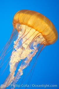 Sea nettles., Chrysaora fuscescens, natural history stock photograph, photo id 14081