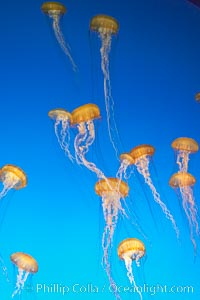 Sea nettles., Chrysaora fuscescens, natural history stock photograph, photo id 14087