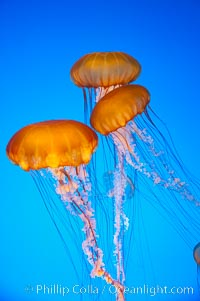 Sea nettles., Chrysaora fuscescens, natural history stock photograph, photo id 14090
