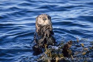 Sea otter resting amidst Macrocystis pyrifera kelp, Enhydra lutris, Macrocystis pyrifera, Monterey, California