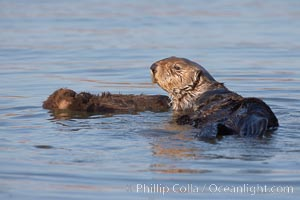 A sea otter mother floats alongside her days-old pup through the water.  The pup still has the fluffy fur it was born with, which traps so much fur the pup cannot dive and floats like a cork, Enhydra lutris, Elkhorn Slough National Estuarine Research Reserve, Moss Landing, California