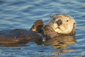 A sea otter, resting on its back, holding its paw out of the water for warmth.  While the sea otter has extremely dense fur on its body, the fur is less dense on its head, arms and paws so it will hold these out of the cold water to conserve body heat. Elkhorn Slough National Estuarine Research Reserve, Moss Landing, California, USA, Enhydra lutris, natural history stock photograph, photo id 21621