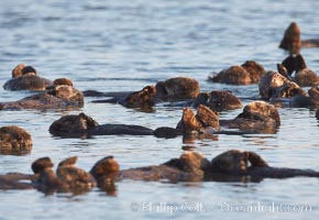 Sea otters, resting on the surface by lying on their backs, in a group known as a raft. Elkhorn Slough National Estuarine Research Reserve, Moss Landing, California, USA, Enhydra lutris, natural history stock photograph, photo id 21625