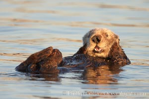 A sea otter, resting on its back, grooms the fur on its head.  A sea otter depends on its fur to keep it warm and afloat, and must groom its fur frequently. Elkhorn Slough National Estuarine Research Reserve, Moss Landing, California, USA, Enhydra lutris, natural history stock photograph, photo id 21627