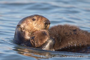 A sea otter mother hold her pup on her stomach as she rests floating on her back.  This pup, just a few days old, probably weighs between 3 and 5 pounds.  The pup still has the fluffy fur it was born with, which traps so much fur the pup cannot dive and floats like a cork, Enhydra lutris, Elkhorn Slough National Estuarine Research Reserve, Moss Landing, California
