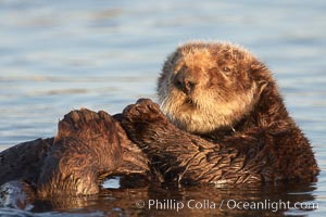 A sea otter resting, holding its paws out of the water to keep them warm and conserve body heat as it floats in cold ocean water, Enhydra lutris, Elkhorn Slough National Estuarine Research Reserve, Moss Landing, California