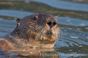 A sea otter, looking at the photographer as it forages for food in Elkhorn Slough. Elkhorn Slough National Estuarine Research Reserve, Moss Landing, California, USA, Enhydra lutris, natural history stock photograph, photo id 21641