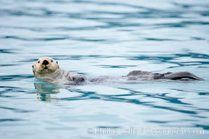 Sea otter, Enhydra lutris, Resurrection Bay, Kenai Fjords National Park, Alaska
