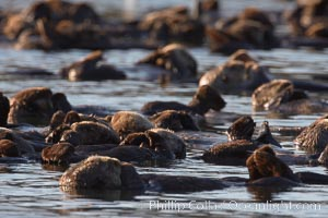 A raft of sea otters.  A raft is a congregation of sea otters, usually in a resting mode.  While rafting sea otters appear to suggest a tendancy toward a group social structure, sea otters can also be solitary animals, Enhydra lutris, Elkhorn Slough National Estuarine Research Reserve, Moss Landing, California
