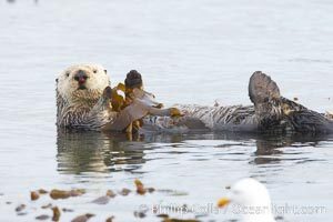 A sea otter floats on its back on the ocean surface.  It will wrap itself in kelp (seaweed) to keep from drifting as it rests and floats. Morro Bay, California, USA, Enhydra lutris, natural history stock photograph, photo id 20433