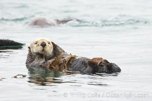 A sea otter floats on its back on the ocean surface.  It will wrap itself in kelp (seaweed) to keep from drifting as it rests and floats, Enhydra lutris, Morro Bay, California