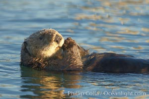 A sea otter, resting on its back, holding its paw out of the water for warmth.  While the sea otter has extremely dense fur on its body, the fur is less dense on its head, arms and paws so it will hold these out of the cold water to conserve body heat. Elkhorn Slough National Estuarine Research Reserve, Moss Landing, California, USA, Enhydra lutris, natural history stock photograph, photo id 21679