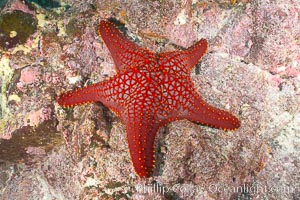 Unidentified sea star (starfish), North Seymour Island