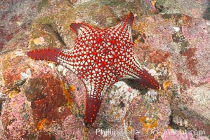 Unidentified sea star (starfish). North Seymour Island, Galapagos Islands, Ecuador, natural history stock photograph, photo id 16428