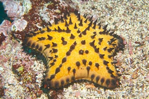 Unidentified sea star (starfish), Cousins