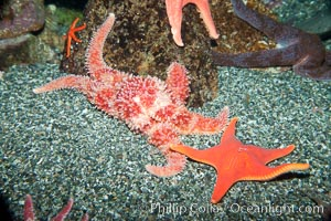 Unidentified sea star