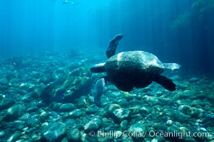 Sea turtle swims over cobblestones in shallow water, Guadalupe Island (Isla Guadalupe)
