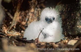 Seabird chick nested among roots of Pisonia trees, Rose Atoll National Wildlife Refuge, Rose Atoll National Wildlife Sanctuary