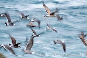 Seabirds in flight at sunrise, long exposure produces a blurred motion, La Jolla, California